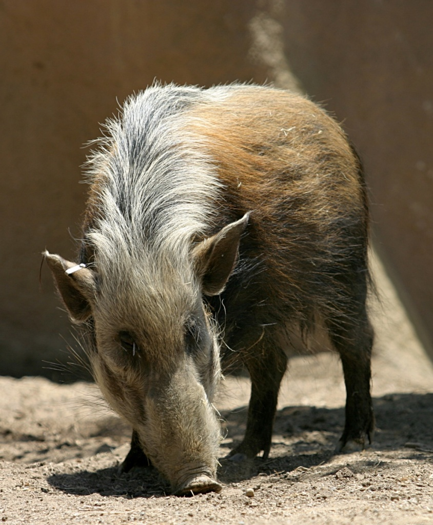 A female bushpig - females have no tusks.